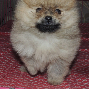 продам красивого  умного померанского щенка