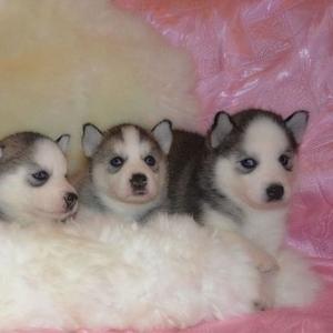 Продаю голубоглазых щенков Сибирской хаски